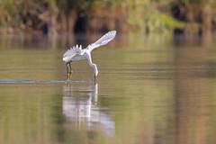Flying Arch (gseloff) Tags: snowyegret bird flight bif feeding water reflection wildlife nature animal wing bayou armandbayou pasadena texas kayak gseloff