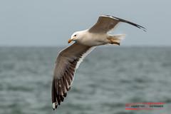 Seagull on Helgoland (Thoober) Tags: dühne fähre helgoland insel vögel wasser seagull möwe vogel bird animal tier see meer northsea himmel ozean
