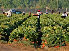 Love In The Fields (Michael T. Morales) Tags: farm field salinasvalley montereycounty love farmworker strawberryharvest attitude