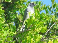 Coracina novaehollandiae melanops 6 (barryaceae) Tags: tuncurry breakwall nsw australia ausbird ausbirds blackfaced cuckooshrike coracina novaehollandiae melanops