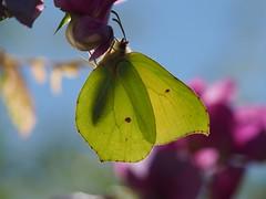 Zitronenfalter (michaelmueller410) Tags: butterfly schmetterling common brimstone gonepteryx rhamni insect insekt macro makro closeup yellow frontlight gegenlicht bokeh sonne sommer nature natur