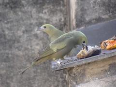 DSC01588 Sanhaço-De-Coqueiro (Tangara palmarum) (familiapratta) Tags: sony dschx100v hx100v iso100 natureza pássaro pássaros aves nature bird birds novaodessa novaodessasp brasil
