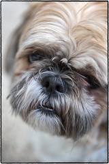 Sad Puppy. (drpeterrath) Tags: canon eos5dsr 5dsr animal do portrait puppy shihtzu color eyes mouth nose naturallight