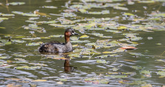 Little Grebe (Paul..A) Tags: littlegrebe little grebe waterbird divingbird dabchick scotland