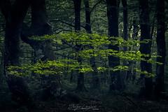 Bosque de hayas (www.jorgelazaro.es) Tags: paisaje landscape bosque hayedo naturaleza hojas árbol montesantiago haya verde berberana castillayleón españa es