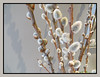 Pussy Willows (bigbrowneyez) Tags: branches flowers pretty lovely pussywillows delicate soft fluffy flickrballs belli nature natura bellissimi fiori light shadows fantastic fabulous softness dof elegant bouquet frame cornice silvana mycousinshouse entrance beautiful gorgeous striking