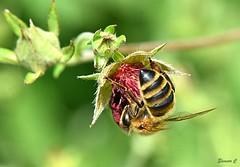 A Tight Squeeze HBBBT (Eleanor (No multiple invites please)) Tags: bee honeybee potentilla garden stanmore uk nikoond7200 105mmmacrolens july2018