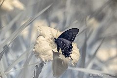 Black Swallowtail 720nm IR (Brian M Hale) Tags: kolari vision kolarivision ir infrared infra red butterfly black swallowtail swallow tail new england newengland usa ma mass massachusetts brian hale brianhalephoto outside outdoors nature flower orchid lily floral botany 720nm 720 insect