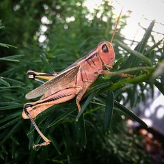 Forget pink elephants. Here's a pink grasshopper near Nephi, UT. Makes me think fishing. #insects #grasshopper #legs #pink #ronspomeroutdoors (RonSpomerOutdoors) Tags: instagram ronspomeroutdoors outdoors hunting landscape wildlife camping canon 7d