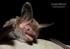 Bechstein's Bat (Myotis bechsteinii) (George Wilkinson) Tags: bechsteins bat myotisbechsteinii uk chiroptera wildlife canon 7d mk ii 60mm macro
