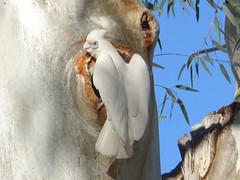 Little Corella (4) (margaretpaul) Tags: bird australianbird corella littlecorella