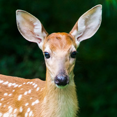 2018.07.31.1427 Fawn (Brunswick Forge) Tags: 2018 summer woods deer feeding outdoor outdoors home wildlife nature animals animal animalportraits nikond500 virginia botetourtcounty favorited commented