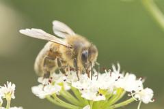 Bee Macro (Benjaminio) Tags: bee honey insect savebees macro nature wildlife bbccountryfile bbcspringwatch closeup flower plantlife