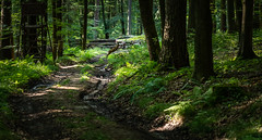 deerjump (johndifool) Tags: wood jump forest weg green holz reh deer wald 7dwf fauna cof029mari