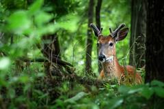EndOfSpringBuck (jmishefske) Tags: 2018 d850 nikon nature center whitnall milwaukee franklin antler june spring rack wisconsin buck velvet park wehr wildlife deer whitetail