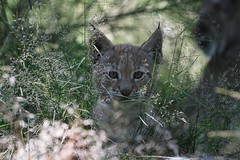Chaton de lynx (Passion Animaux & Photos) Tags: lynx parc animalier auvergne france