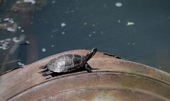 The Earth is round (Millie Cruz *Catching up on weekend!) Tags: turtle water lake basking sun nature outdoors reptile tamron150600 pennsylvania canoneos5dmarkiii