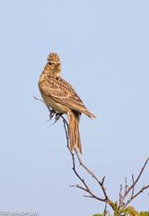 Skylark (Danny Gibson) Tags: skylark lark sky birds bird birdwatching birdwatcher birdphotography norfolk northnorfolk northnorfolkcoast wildlife wildlifephotography dgpixorguk sigma150600mmhsmosdg canon7dmk2
