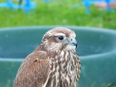 DSCF3617 (SierPinskiA) Tags: ruffordabbeycountrypark rufford knightsofnottingham fujixs1 jousting medieval horse knights goldeneagle falcon