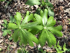 Winfield, IL, Herrick Lake Forest Preserve, Forest Floor Plants (Mary Warren 10.9+ Million Views) Tags: winfieldil herricklakeforestpreserve spring nature flora green leaves foliage plant