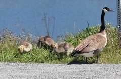 Canada Goose and babies (joybidge) Tags: trishcanada naturepatternscanada victoriabc esquimaltlagoon birds