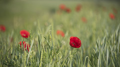 Les stars de mai (Titole) Tags: poppies wildflowers field titole nicolefaton shallowdof red green