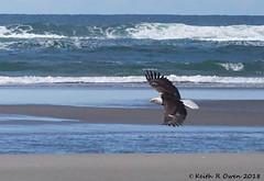 Bald Eagle (Haliaeetus leucocephalus) (youngwarrior) Tags: fortstevens fortstevensstatepark oregon baldeagle haliaeetusleucocephalus eagle bird raptor ocean beach pacificocean surf wave water
