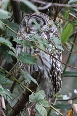 Barred Owl (maritimeorca) Tags: animal barredowl bird owl strixvaria