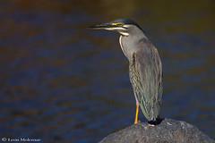 Green-backed Heron (leendert3) Tags: leonmolenaar southafrica krugernationalpark wildlife nature birds greenbackedheron ngc npc coth5