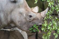 rhino lips in motion- Cleveland Zoo (Tim Evanson) Tags: clevelandzoo clevelandmetroparks clevelandmetroparkszoo clevelandohio zoo dicerosbicornismichaeli easternblackrhino rhino blackrhino