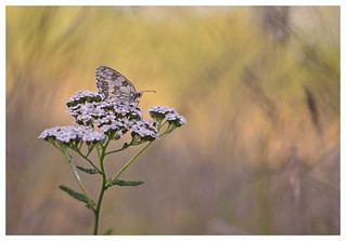 Papillon demi-deuil - Melanargia galathea