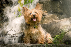Picture of the Day (Keshet Kennels & Rescue) Tags: rescue kennel kennels adoption dog ottawa ontario canada keshet large breed dogs animal animals pet pets field tree forest nature photography yorkshire silky terrier smile waterfall sit happy tongue out roack boulder