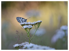Quand vient le soleil...When the sun comes... (isabelle.bienfait) Tags: papillondemideuil papillon butterfly ambiance ambience couleurs colors isabellebienfait nikond7200 sigma105 melanargiagalathea marbledwhite schmetterling schachbrettschmetterling proxiphoto mariposa borboleta