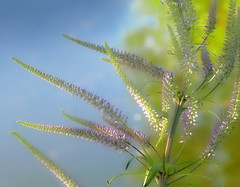 Sun seeker (louise peters) Tags: sun zon sunny zonnig sunseeker zonzoeker plant flower bloem bloei blue blauw yellow green geel groen geelgroen macro makro