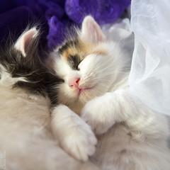 20170913_5906c (Fantasyfan.) Tags: turkish van kitten sleeping kuunkissan fantasyfanin