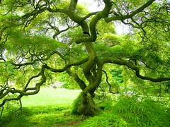 Green Japanese Maple (Stanley Zimny (Thank You for 31 Million views)) Tags: bronx botanical garden tree green japanese maple
