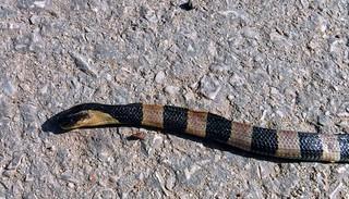 Bungarus fasciatus (Schneider, 1801) Elapidae-Banded Krait-งูสามเหลี่ยม, งูตามธาร, งูก้านปล้อง