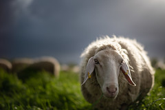 chef? (Rafael Zenon Wagner) Tags: schaaf sheep lamm lamb dof bokeh 58mm 14 nikon d810 nature natur tier animal gras schafe feld himmel vieh