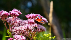Summer colors of nature (Szymon Simon Karkowski) Tags: outdoor butterfly colors colours bee summer flower meadow silesia voivodeship przyszowice poland nikon d7100