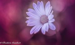 Soft Light (frederic.gombert) Tags: daisy color white sun sunlight summer red pink macro flowers flora bloom blossom nikon garden plant