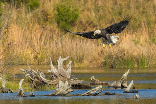 A Sub-Adult Bald Eagle Coming in for the Landing
