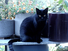 Cat and Flowers (knightbefore_99) Tags: cat gato chat black noir pretty feline best love panther cool great sweet friend flowers balcony furry cc100