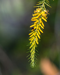 Green & gold (dicktay2000) Tags: macquarieuniversity australia sydney ©richardtaylor macquariepark newsouthwales au 20180519p519308820180519p5193088