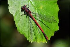 Large Red Damselfly (Mike Slade.) Tags: largereddamselfly female pyrrhosomanymphula stovercountrypark newtonabbot devon england ©mikeslade