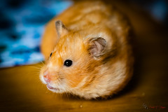 Belle on Table (Donald.Gallagher) Tags: animals belle de delaware hamster horizontal mammals nature newcastlecounty northamerica pikecreek public summer typecolor typelightroom typeportrait typeshutterbuttonfocus typetelephoto usa woodcreek