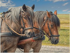 Kutschfahrt (Der Pixelsucher) Tags: pferd kutsche kutschfahrt kutscher hallig hooge meer insel