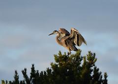 Great Blue Heron 7-20-18 (Carol Riddell) Tags: tree bird heron greatblueheron ardeaherodias edmondsmarsh snohomishcountybirds washingtonbirds birdsofedmonds