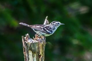 Black-and-white Warbler , Cochrane Pond Road
