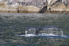 Going down! (danielusescanon) Tags: humpbackwhale megapteranovaeangliae baleen tail iconic balaenopteridae wild marine tour kenaifjordsnationalpark aialikbay