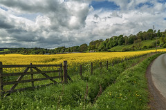 Yellow fields_G5A5069_1251 (ronniefleming@btinternet.com) Tags: ronnieflemingdrumpellierml51ry perthshire ph31fy rapeoilseed yellowfields harvest crops fence gate clouds skies green road telegraphpoles